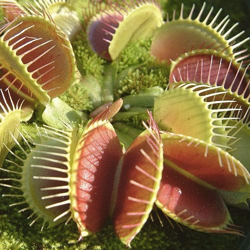 masozrava-rastlinka-1509